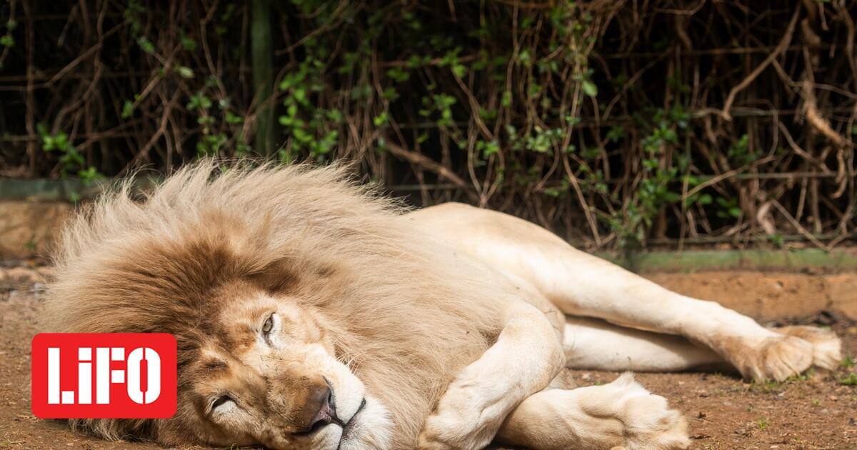 Θετικά στον κορωνοϊό για «πρώτη φορά στην Ινδία» οκτώ λιοντάρια σε ζωολογικό πάρκο