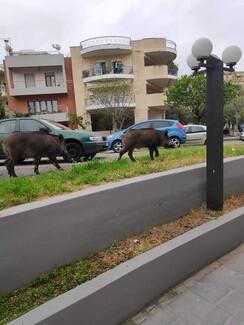 Αγριογούρουν «κόβουν» βόλτες στο κέντρο της Θεσσαλονίκης: Τι ανυσηχεί τους ειδικούς (Εικόνες)