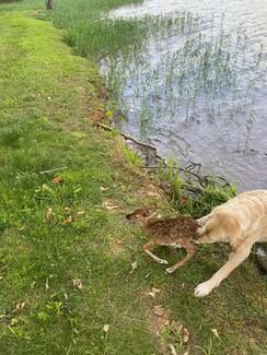 Σκύλος έσωσε ελαφάκι από πνιγμό και δεν έφευγε από δίπλα του: «Το φρόντιζε συνέχεια»