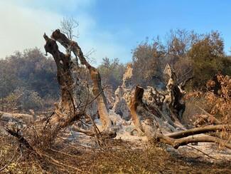Φωτιά στην Εύβοια: Κάηκε ελιά 2.500 χρόνων στις Ροβιές