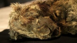 «Η κοιμώμενη Σπάρτη»: Άριστα συντηρημένο λιοντάρι βρέθηκε στη Σιβηρία - «Νεκρό εδώ και 28.000 χρόνια»
