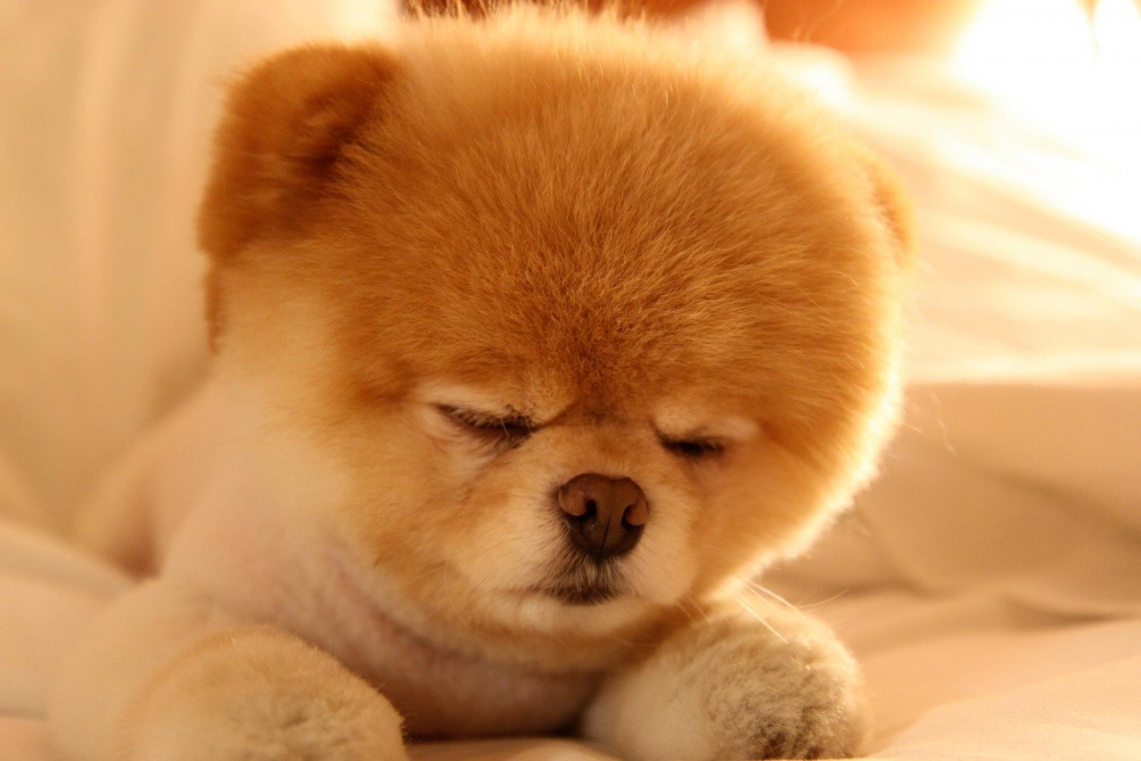 Pair Of Cute Toys Hd Wallpaper: Boo! Το πιο Γλυκό Σκυλί του Κόσμου